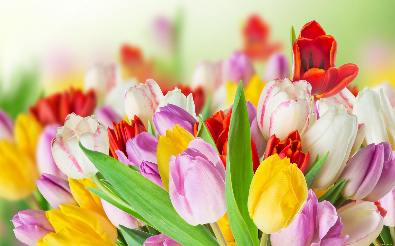 картинки цветы тюльпаны красивые крупно сих